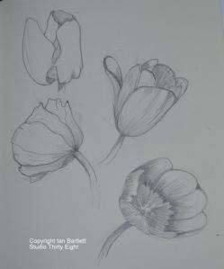 1-Tulip Sketch 2