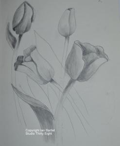 1-Tulip Sketch 4