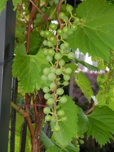 Grapes 2014